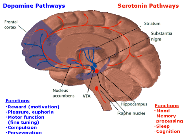 Serotonin and Dopamine brain circuitry